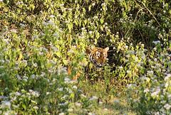 Beauty behind the bushes (Deepu Cyriac) Tags: nature animals wildlife tiger karnataka kabini westernghats bengaltiger nagarhole indianforest royalbengaltiger