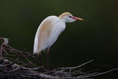 Hron garde-boeufs / Cattle Egret (DanSar49) Tags: floride cattleegret wakodahatchee hrongardeboeufs mpdquebec