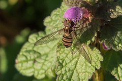 Hoverfly Episyrphus balteatus 26th Germany Dec 2015 (study 2) (jgsnow) Tags: insect hoverfly diptera episyrphusbalteatus