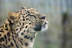 Leopard-2 (pjwebbs) Tags: park field zoo nikon dof wildlife yorkshire sigma iso leopard depth ywp 150600 d7200