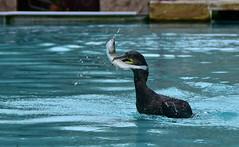 Une belle prise (Diegojack) Tags: oiseaux eau alsace canard parc naturoparc cormorans hunawihr