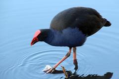 Australasian Swamphen (NTG's pictures) Tags: sydney nsw australi the royal botanic gardens birds australasian swamphen
