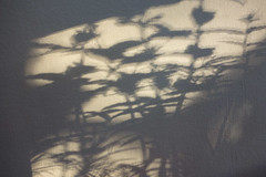 Plant shadows (Spannarama) Tags: shadows sunlight light wall shadowplay flowers plants