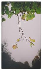 18.10.16 (Kirby_Wilson) Tags: wilt branch branches tree leaf leaves autumn fall grey damp sweden skne helsingborg r