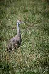 Sandhill Cranes (Grus canadensis) (Photo Patty) Tags: sandhillcrane gruscanadensis isenbergcranereserve lodi