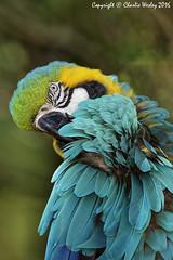 Preener (wesjr50) Tags: canon 5ds canonef500mmf40isusm captivewildlife blue yellow macaw flash betterbeamer photoshopcc dxoopticspro staugustinealligatorfarm