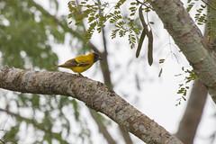 Oropndola Encapuchada (ik_kil) Tags: oropndolaencapuchada oriole blackhoodedoriole oriolusxanthornus kaziranganationalpark kaziranga birdsofindia birds assam india
