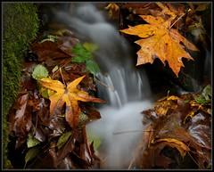 Mini-Mini-Waterfall (Ernie Misner) Tags: waterfall park autumn leaves tacomawashington tacoma washington erniemisner nikon nik capturenx2 cnx2 f8andbeattheworldssmallestwaterfall worldssmallestwaterfalllol
