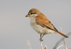 Red-backed Shrike (Lanius collurio) (Walmer Wildlifer) Tags: redbacked shrike lanius collurio