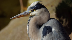 a Great Blue Heron (Franck Zumella) Tags: bird big great blue heron closeup portrait gbh