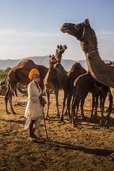L1003334.jpg (Bharat Valia) Tags: pushkarfair bharatvalia desert rajasthanportraits bharatvaliagmailcom sheperd pushkarimages pushkarmela festivalsofindia camel pushkarcamelfair pushkar