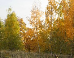 O Ewigkeit, du Freudenwort (amras_de) Tags: birke berk betula breza bedoll bríza birk birch betulo kask urki koivut bouleau beith nyírfa birki beržas berzi bjørk bjørkeslekten beç brzoza bétula mesteacan björksläktet hus wiesbaden dotzheim freudenberg herbst agüerro jesen tardor podzim efterår autumn autuno otoño sügis udazken syksy automne fómhar osz haust autunno autumnus hierscht ruduo rudens herfst høst jesien outono toamna autunnu hairst höst sonbahar
