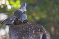 That Itchy Spot Is Just In Reach (uncle.dee9600) Tags: fawn deer itch itchyspot telephoto