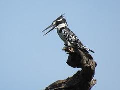 Bontvisvanger / Pied Kingfisher (Bruwer Burger.) Tags: coth5 bontvisvanger pied kingfisher ngc npc