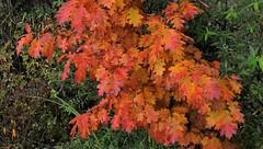 Oregon Live Oak (Allen Woosley) Tags: fall colors leaves oregon live oak galaxy s5 cell phone