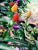Peperoncini 🌶 (beatricecalanni) Tags: piccante peperoncini