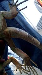 IMG_20151209_153127 (estradelirius) Tags: iguana garrobo