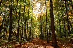 Forest Trail (Chris Lue Shing) Tags: fujixa1 fujinonxc1650mmf3556ois aurora ontario sheppardsbush canada forest tree chrislueshing trail path colors colours fall autumn landscape