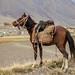 Cavalo de um quirguiz em Sarhad