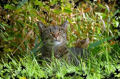 Loving the great outdoors! (Lynnemvt) Tags: cat pet merry tabby panasonic lumix fz1000 inexplore happycat