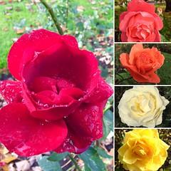 Roses (rsaloust) Tags: beautifulbritishcolumbia nature canada britishcolumbia bc victoria theempresshotel rosegarden flowers flower roses rose