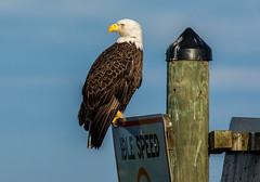 DSC_1383 (Calum Linnen) Tags: bald eagle nikon d7100 florida united states wildlife nikkor 200500 calum linnen photography joe overstreet road haliaeetusleucocephalus