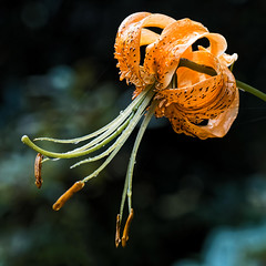 Trkenbund-Lilie (novofotoo) Tags: blumen botanischergarten flowers garten liliengewchse lilium liliummartagon makro natur regentropfen reise sommer turkscaplily trkenbund trkenbundlilie botanicalgarden garden macro nature orange raindrop summer