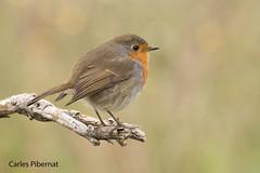 Pit-roig, Petirrojo, Robin (Erithacus rubecula) (Carles Pibernat) Tags: