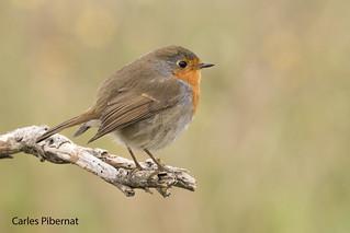 Pit-roig, Petirrojo, Robin (Erithacus rubecula)