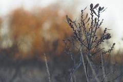 Autumn impression (nikjanssen) Tags: frost morning bokeh vintagelenses helios442 m42 autumn gagel gale