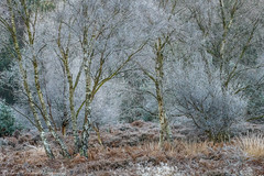 Frost on the Common (Chalky666) Tags: tree trees wood woodland common fern heathland silverbirch sunrise frost painterly art southdowns westsussex