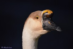 Oca _031 (Rolando CRINITI) Tags: oca uccelli uccello birds ornitologia ritratto arenzano natura