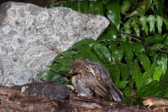 Blackbird (Turdus merula) (Nga Manu Images NZ) Tags: bathing blackbird fscientificnames turdusmerula