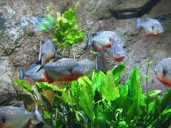 IMG_4603 (Whitebrowgigs) Tags: flowers fish animals shark turtle tiger polarbear toledozoo turtles tigers sharks polarbears orang orangutans orangs thetoledozoo