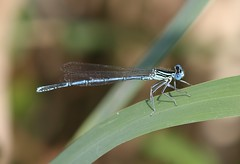 White-legged Damselfly (Platycnemis pennipes) Male (Rezamink) Tags: dragonflies poland odonata whiteleggeddamselfly playcnemispennipes