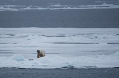 DSC_3471 (stacyjohnmack) Tags: july23 polarbear artic