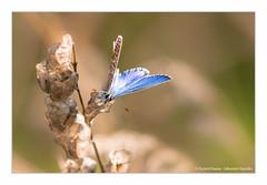 Argus Bleu (Ouistiti.Cheese) Tags: france macro animal butterfly bug insect europe papillon alsace fr insecte polyommatusicarus obernai hautrhin argusbleu azurdelabugrane macroflickr azurcommun mondeminusculeflickr