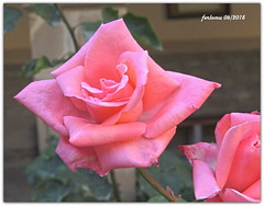 Cantabria -Santo Toribio de Liébana -rosa5 (ferlomu) Tags: cantabria ferlomu flor naturaleza rosa santotoribiodeliebana flower