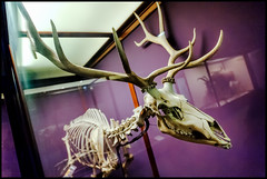 There's a Chill (MisterQueue) Tags: chicago field animal museum skeleton illinois display exhibit fieldmuseum il deer antlers bones bone antler thefieldmuseum