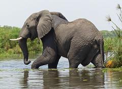 elephantbull  Murchison Falls NP Uganda (grynetvalp) Tags: delta falls uganda murchison platinumheartaward wowl2