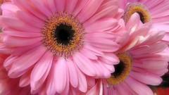 daisy a day (ènfin (verna R)) Tags: pinkflower daisy pinkdaisy photosandcalendar thebestofmimamorsgroups