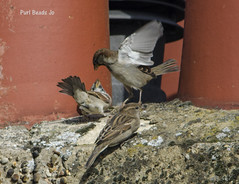 Chimney Pot Sparrows (JBOT | Adaptive Disability Lifestyle) Tags: roof chimney urban house bird home nature birds fly fight wings wildlife flock feathers sparrows birdwatching spadge flit spuggie