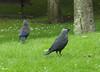 Jackdaws (bryanilona) Tags: grass birds daisies scotland fife falkland jackdaws abigfave