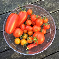 Late tomato harvest (le_sloth) Tags: garden tomatoes harvest organic grafted
