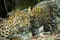 mama's boy (Sconsiderato) Tags: pet pets animal animals canon photo amazing feline felix leopard felini animali animale sconsiderato
