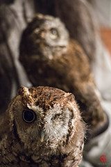 ZiZi and Zephyr (Mark Kaletka) Tags: bird illinois wildlife owl ambassador predator rehab rehabilitation elburn easternscreechowl foxvalley foxvalleywildlifecenter