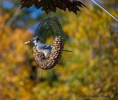 October 13, 2015 - A Blue Jay grabs a snack among the fall colors. (Michelle Jones)