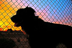 55/115 Bogie at Sunset (Bella Lisa) Tags: sunset dog silhouette lab dogpark bogie 115picturesin2015