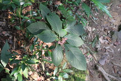 Dinghushan/ - Clerodendrum sp./  5762 (Petr Novk ()) Tags: plant nature asia wildlife guangdong asie  zhaoqing  clerodendrum verbenaceae  rostlina   dinghushan