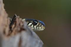 juvenile grass snake, Natrix natrix (willjatkins) Tags: macro snake snakes britishwildlife grasssnake sigma105mm natrixnatrix ukwildlife britishreptile britishsnakes britishreptiles britishsnake dorsetwildlife macrowildlife ukreptile natrixnatrixhelvetica uksnake uksnakes britishreptilesandamphibians ukreptiles nikond7100 ukamphibiansandreptiles ukreptilesandamphibians britishamphibiansandreptiles dorsetreptiles dorsetsnakes dorsetherpetofauna